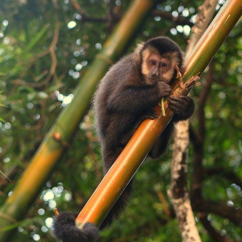 The monkey on