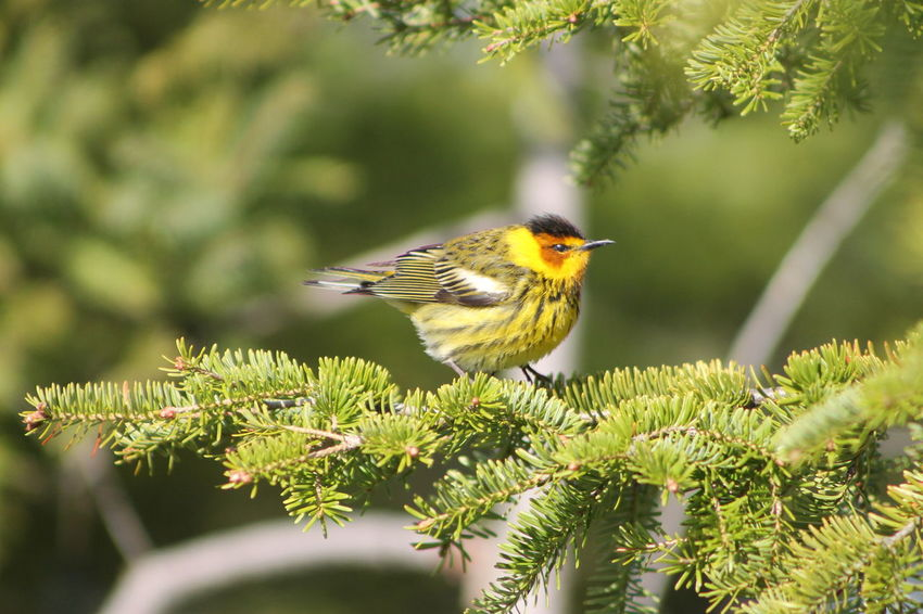 Cape May Warbler Animal Themes Animal Wildlife Animals In The Wild Beauty In Nature Bird Cape May Warbler Close-up Day Green Color Growth Nature No People One Animal Outdoors Perching Plant Robin Saguenay, Québec, Canada Tree EyeEmNewHere Pet Portraits The Week On EyeEm Paint The Town Yellow