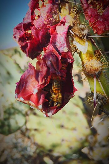 Flower No People Fragility Close-up Freshness Petal Nature Flower Head Beauty In Nature Day Outdoors Plant Growth Food Animal Themes Prickly Pear Fruit Prickly Pear Cactus HoneyBee Saguaro National Park Hiding In Plain Sight