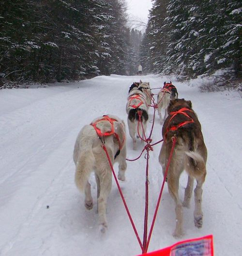 Mushing the trail in NY Adventure Animal Themes Cold Temperature Day Dog Dog Sledding Domestic Animals Mammal Mushing Nature Outdoors Pets Snow Tree Weather Winter
