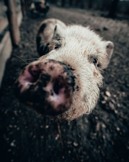 Close-up portrait of pig on field