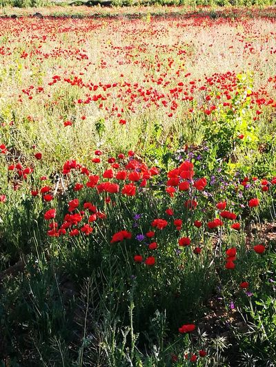 Beauty In Nature Nature Springtime Freshness Red Color Spring Flowers Amapola Flower