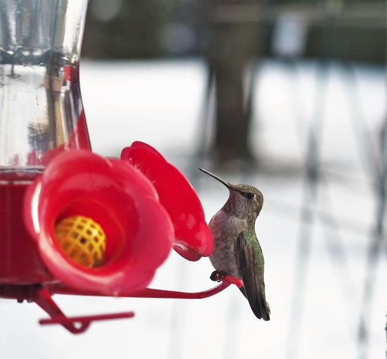 The snow is coming down pretty good this morning. This little hummer was hungry yesterday. I cleaned his feeder and warmed up the juice. Happy camper. Animal Themes Animal Wildlife Animals In The Wild Bird Bird Feeder Close-up Day Flying Focus On Foreground Food Food And Drink Freshness Hummingbird Nature No People One Animal Outdoors Red