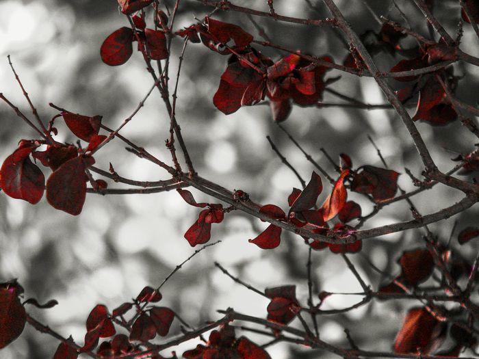 red leaves Plant Leaves Red Leaves Tree Tree Branches Nature Carmine Tree Branch Winter Red Hanging Leaf