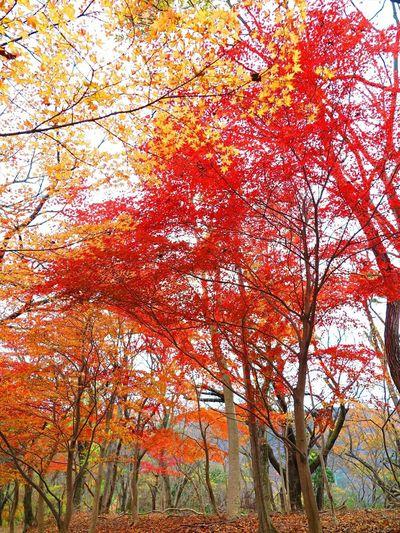 丹沢の紅葉 まだ残ってたぁ(o´艸`) Nature Landscape Outdoor Photography Autumn Leaves Enjoying Life Trees Japan Taking Photos Beautiful Nature EyeEm Best Shots