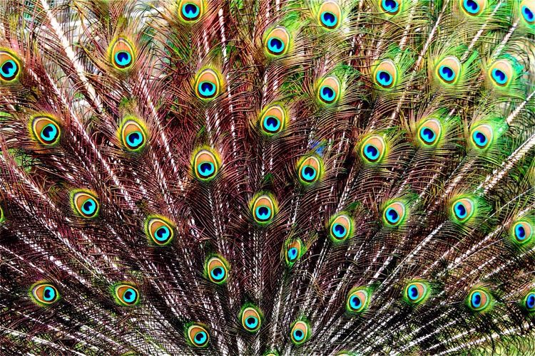 Extreme close up of peacock