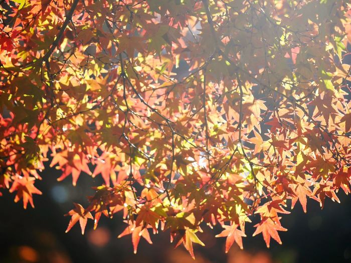 Autumn Leaf Change Nature Tree Outdoors Maple Tree Beauty Beauty In Nature Landscape Multi Colored Leicaxtyp113
