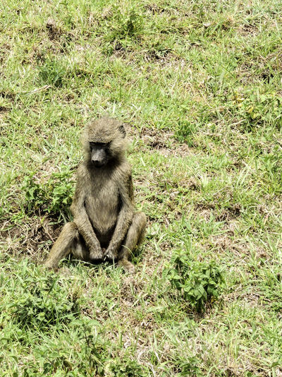 Arusha National Park Animal Themes Animal Wildlife Animals In The Wild Baboon Baboon Portrait Baboons Day Field Grass Green Color Mammal Monkey Nature No People One Animal Outdoors Safari Animals Sitting