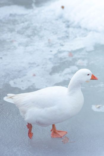 High angel view of goose on frozen lake