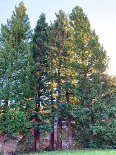 """""""Redwood Nirvana"""" A majestic grove of redwood trees stands guard over dwellings in a suburban California neighborhood. California Suburban Exploration Redwood Grove Trees Redwood Trees Redwoods Tree Low Angle View No People Nature Beauty In Nature"""