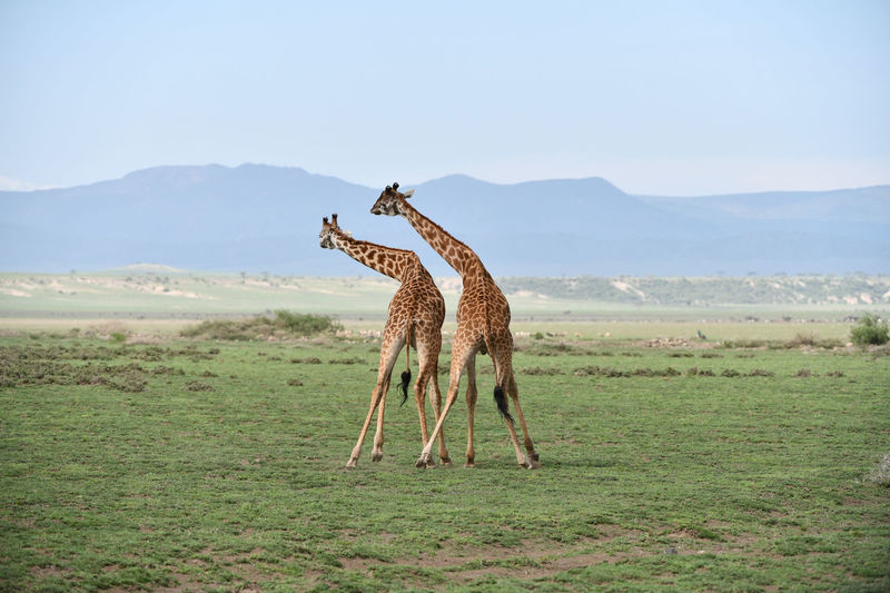 Rear view of giraffes standing on land