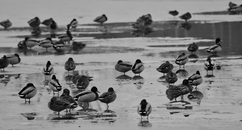 Cold Weather EyeEmNewHere Frozen Lake Large Group Of Animals Wildlife Photography Wintertime Beauty In Nature Blackandwhite Photography Group Of Animals Group Of Ducks Naturelovers Water Bird Collection Water Birds Water Birds In The Winter