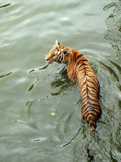 High angle view of cat swimming in lake