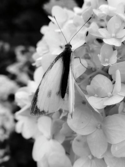 As Delicate as... Delicate Delicate Beauty Nature Beauty In Nature EyeEm EyeEm Nature Lover EyeEm Selects EyeEm Best Shots Macro Macro Photography Insects Collection Eyem Nature Lovers  Wildlife & Nature Wildlife Photography Blackandwhite Flower Close-up Plant Butterfly - Insect Insect Animal Wing Butterfly Pollination Symbiotic Relationship