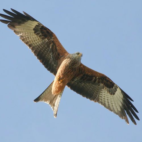 Red Kite Flying Animals In The Wild Animal Wildlife Animal Themes Sky One Animal Vertebrate Spread Wings Animal Clear Sky Low Angle View Bird Of Prey Bird Mid-air Nature No People Beauty In Nature Day Outdoors Blue