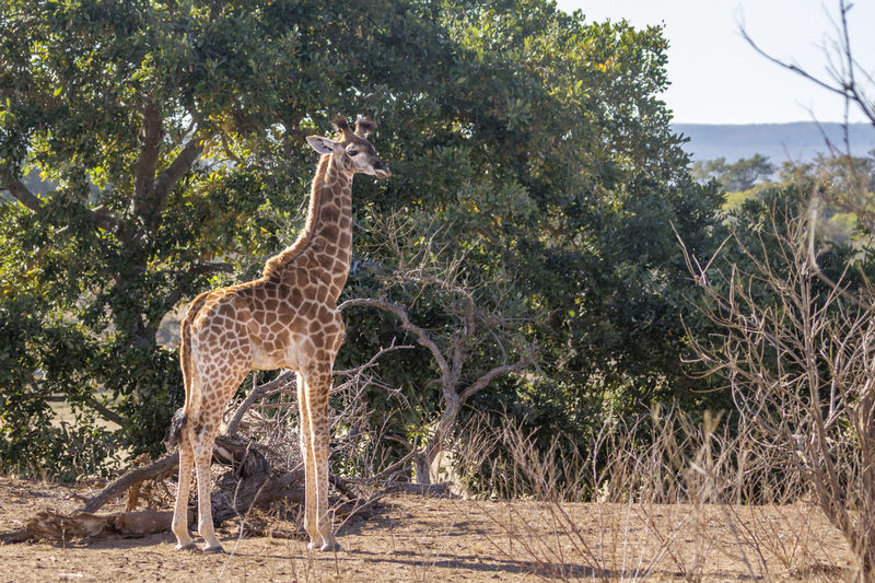 Giraffe standing on land against trees in forest