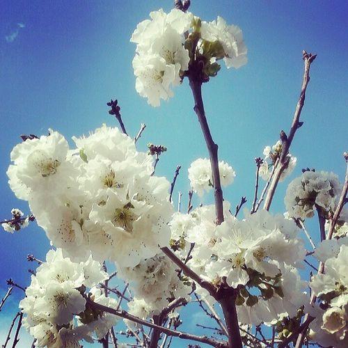En Igerselpuerto también hay cerezos en flor Flordelcerezo Gpmspring NASAGoddard Andalucía_natura Sherryblossom