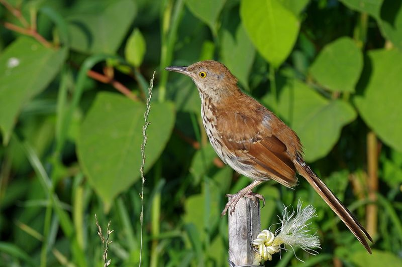 Brown Thrasher Cuitlacoche Rojizo Moqueur Roux Toxostoma Rufum Animals In The Wild Bird Nature One Animal Outdoors