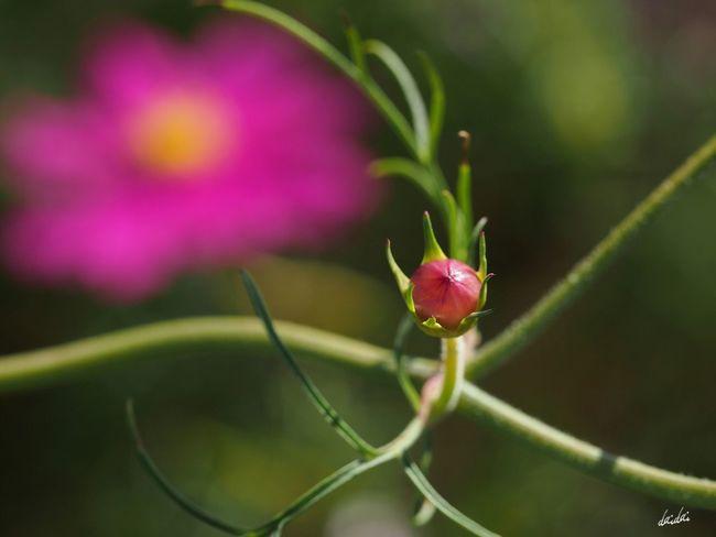 蕾 E-PL3 Flower Cosmos No Edit/no Filter