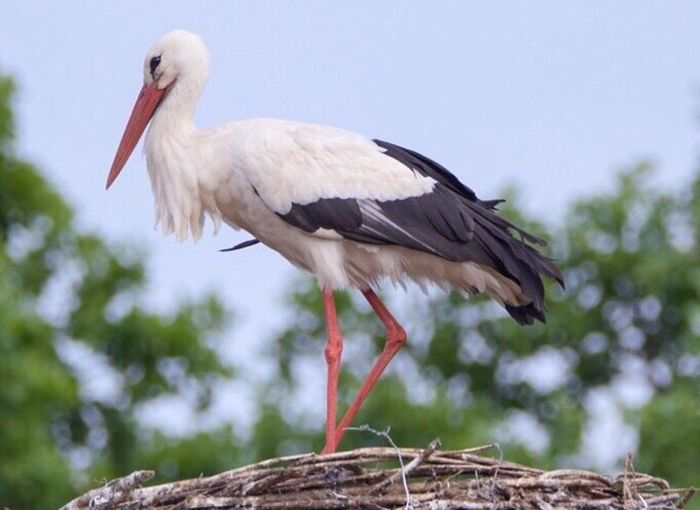 White Stork Stork Bird One Animal Outdoors Day Animals In The Wild Animal Themes Animal Wildlife Storchennest Storch No People Close-up Beauty In Nature Sky