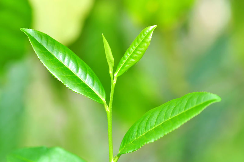 green tea Tea Marijuana - Herbal Cannabis Leaf Cannabis Plant Herb Herbal Medicine Beauty Social Issues Alternative Medicine Agriculture Close-up