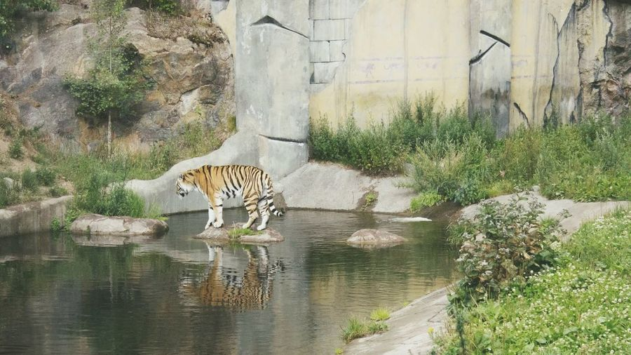 Watching the tigers at Kolmården 🐅 Tiger Zoo Water Nature Beauty In Nature