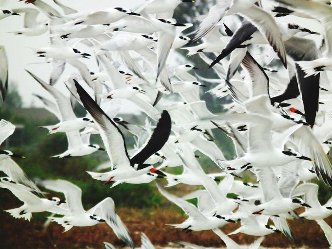 Flight Birds Gulls Skimmers Florida
