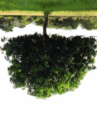 eerT Mango Green Water Green Color Reflection Nature Tree No People Growth Beauty In Nature Outdoors Day Close-up White Background Grass Freshness Sky