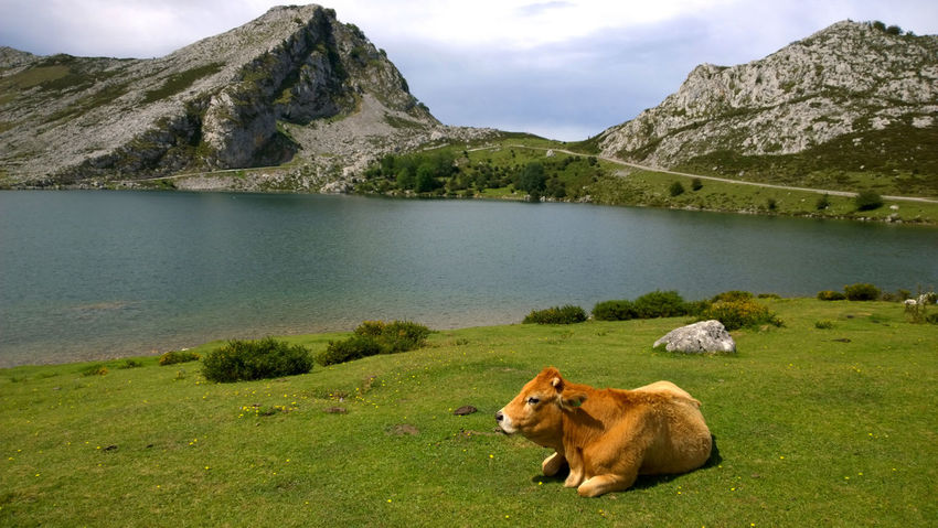 Cow in a pasture at Covadonga Lakes in Picos de Europa, Asturias - Spain Animal Asturias Beauty In Nature Covadonga Cow Grass Green Color Idyllic Lago Enol Lagos De Covadonga Lake Landscape Mammal Mountain Nature Outdoors Picos De Europa Picturesque Resting Scenics Tourism Tranquil Scene Tranquility Travel Water