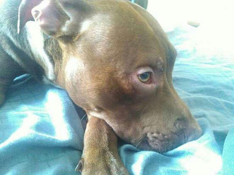 Pet Pit Bull Brindle Dog Enjoying Life Apbt Scary Pets Red Nose