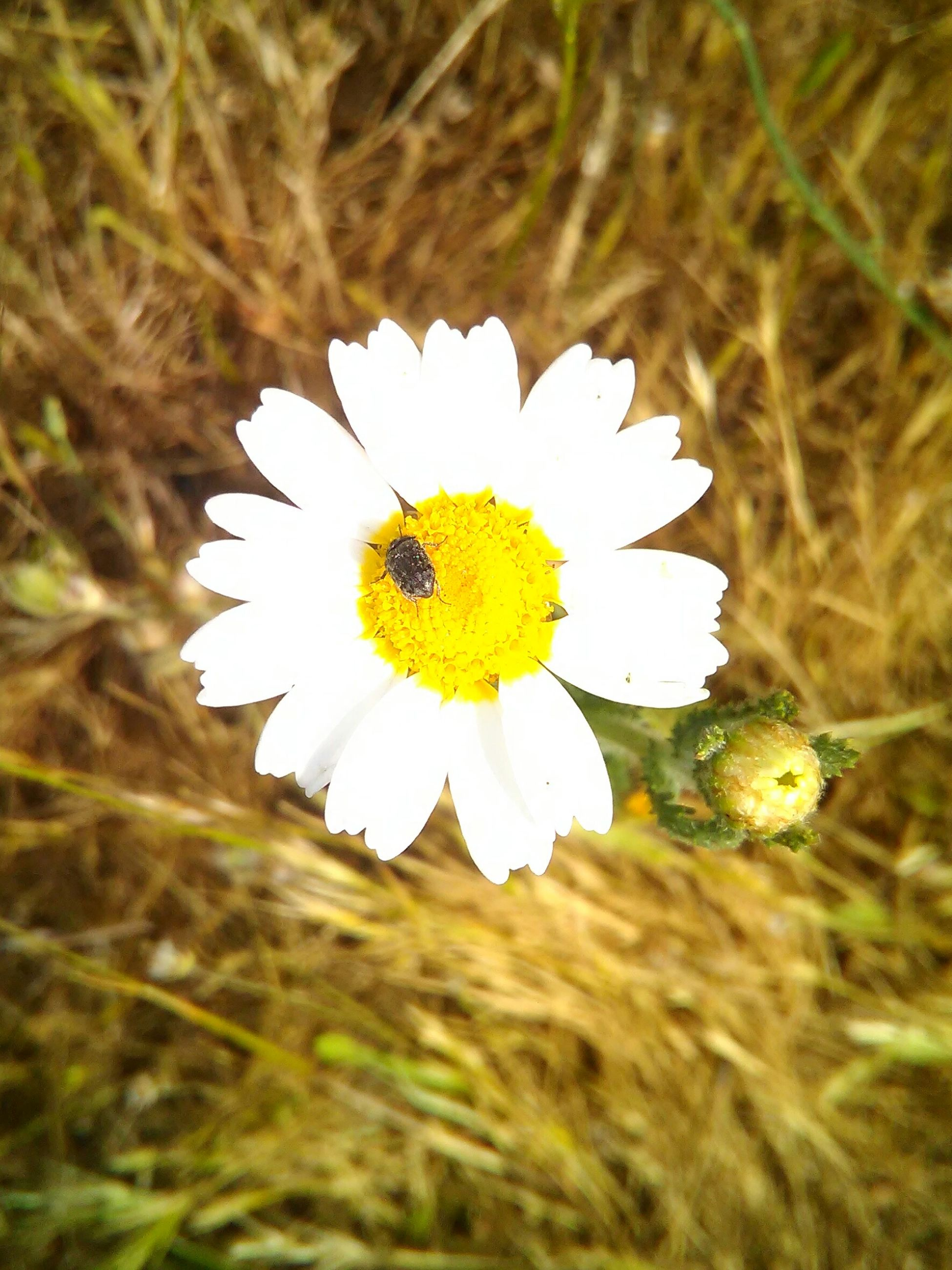flower, petal, flower head, fragility, freshness, single flower, white color, pollen, yellow, growth, blooming, beauty in nature, daisy, close-up, plant, nature, focus on foreground, field, in bloom, high angle view