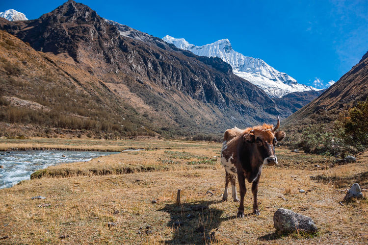 Cow on field with mountains in background