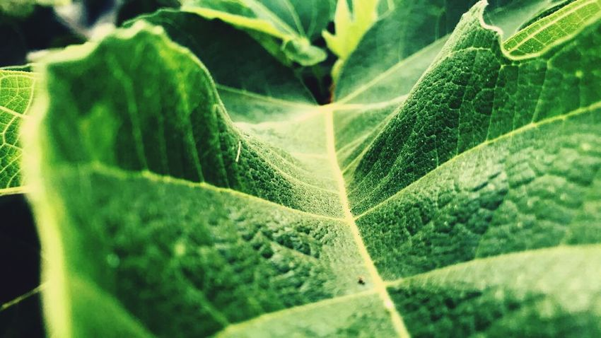 4K EyeEm Best Shots Lovely Cool Bestoftheday Live Nature EyeEm Best Shots Plant Part Leaf Green Color Growth Plant Close-up No People Nature Selective Focus Beauty In Nature Day Leaf Vein Pattern Outdoors Full Frame Natural Pattern Freshness Backgrounds Green Botany