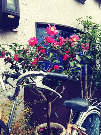 椿 Camellia Window