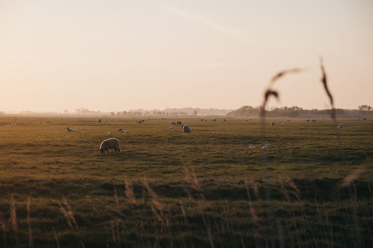 View of farm animals in the distance in an open field during blue hour in norfolk, england, uk.