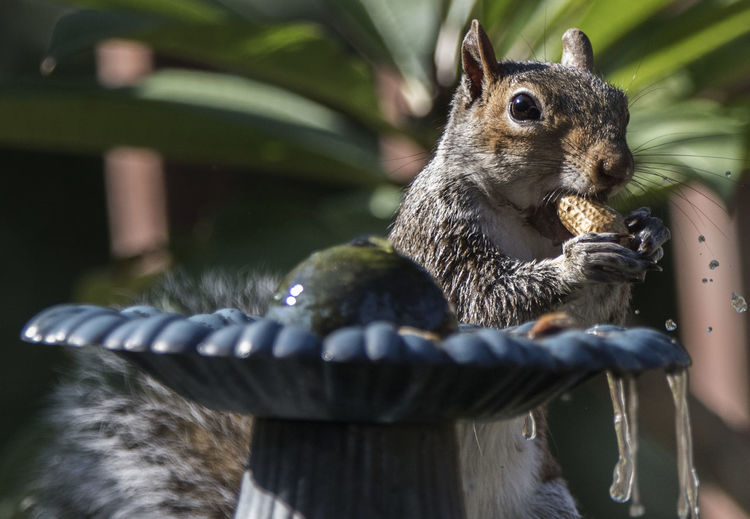 Wet Nut Bird Bath Fountain Squirrel Eating A Peanut Animal Animal Body Part Animal Head  Animal Themes Animal Wildlife Animals In The Wild Cascading Water Dripping Water Eating Falling Water Drop Mammal Nature One Animal Outdoors Peanut Eater Rodent Selective Focus Squirrel Whisker