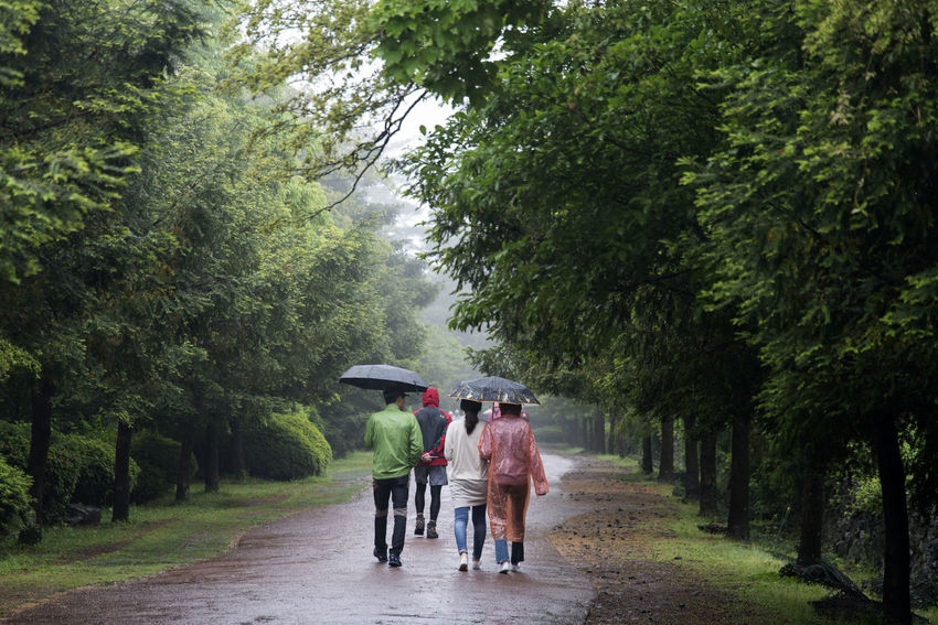 rainy day of Bijarim which is a famous forest in Jeju Island, South Korea Adult Bijarim Day Forest Full Length Group Of People JEJU ISLAND  Kimono Nature Outdoors People Protection Rain Rainy Rainy Season Real People Rear View Summer Togetherness Tree Walking Water Weather Wet Women