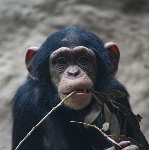 Close-up of a monkey