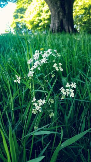 Cowparsley Meadow Flowers Meadowflowers Meadows And Fields Meadowview Quiet Places Quiet Place  Relaxing View Relaxing Taking Photos Beauty In Nature Aesthetically Pleasing Wildflower Growing In Bloom Uncultivated Hiker Botany Blossom