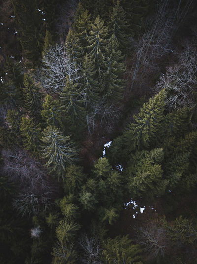 High angle view of pine trees growing in forest