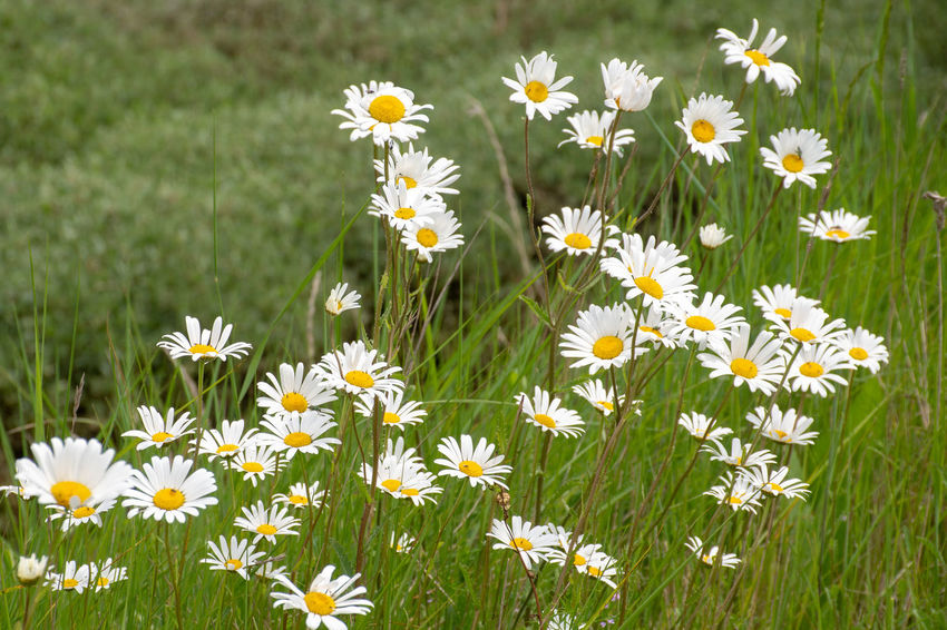 Large group of wild daisies with green background Wildflowers In Bloom Beauty In Nature Close-up Daises Daises Close Up Daisy Flower Flower Head Flowering Plant Petal Vulnerability  Wildflowers Yellow