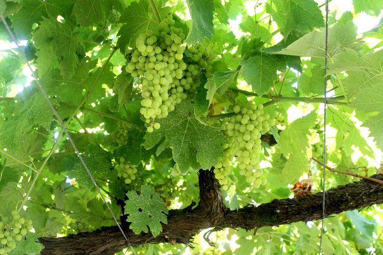 Grapes. Tree grapes.