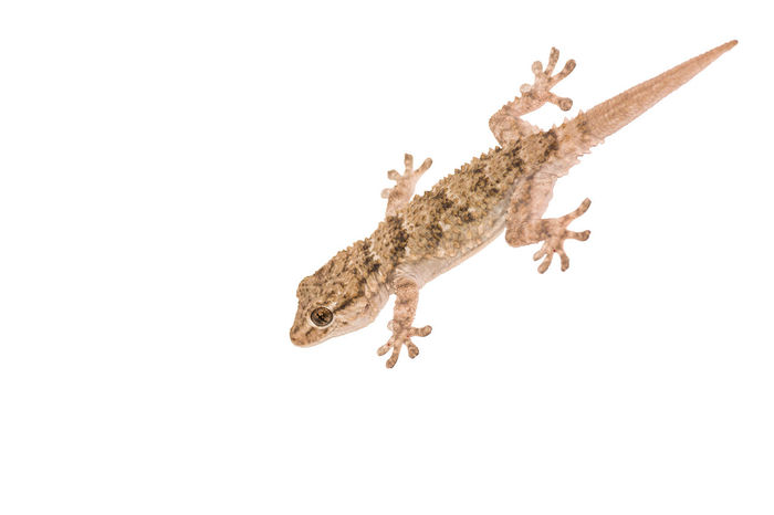 Gekko, small iguana isolated on white background Animal Themes Animal Wildlife Animals In The Wild Cut Out Day Gecko Gray House Gecko Lizard No People One Animal Repetition Taking Photos Tongue White Background