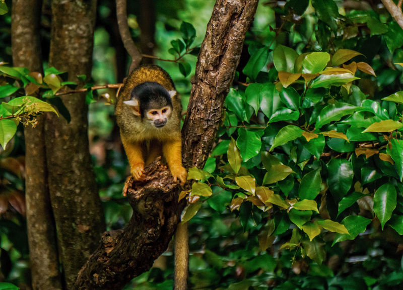 Auckland Zoo. Auckland, New Zealand. Auckland Bolivian Squirrel Monkey Branch Close-up Cute Day Focus On Foreground Forest Green Color Growth Leaf Mammal Monkey Nature New Zealand No People Outdoors Plant Portrait Selective Focus Tree Tree Trunk Zoo