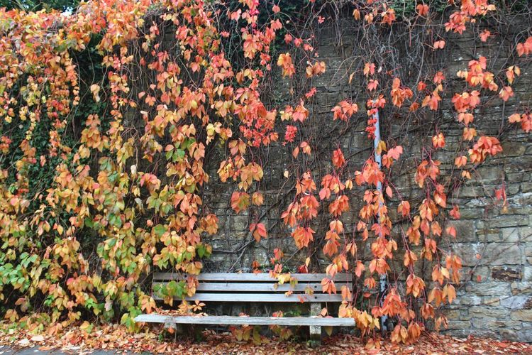 I love October 🍂🍁 👐 Autumn Autumnal Mood Magical Magical Places Park Bench Leaves Ivy Maple Leaf Creeper Plant Fallen Bench Change Growing Blooming Leaf Vein