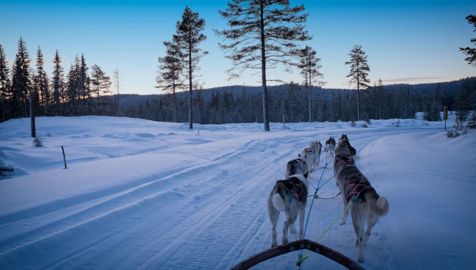 Animal Themes Arctic Light Artic Circle Dog Dog Adventure Dog Sled Husky ♡ Mush Camp Musher Nature Outdoors Sled Sled Dog Sled Dog Tour Sleddog Snow Snow Sports Snow ❄ Sunset Winter Trees Winter Wonderland Winterscapes Winterwonderland Working Animal