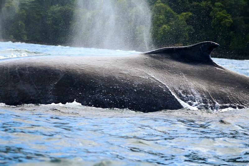 Water No People Sea Animals In The Wild Nature Animal Wildlife One Animal Whale Outdoors Humpback Whale Sea Life Spraying Day Swimming Mammal Aquatic Mammal Beauty In Nature Animal Themes Close-up UnderSea Ballenas Jorobadas Bahia Solano