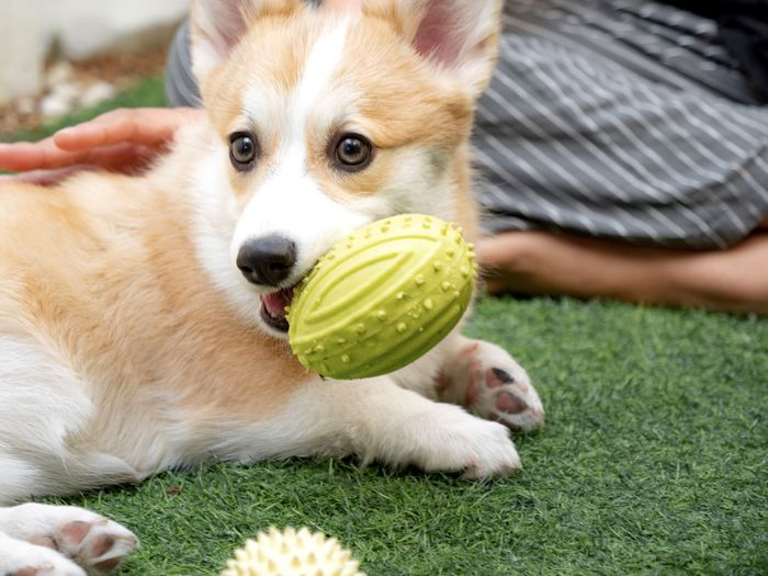 Portrait of dog playing with ball