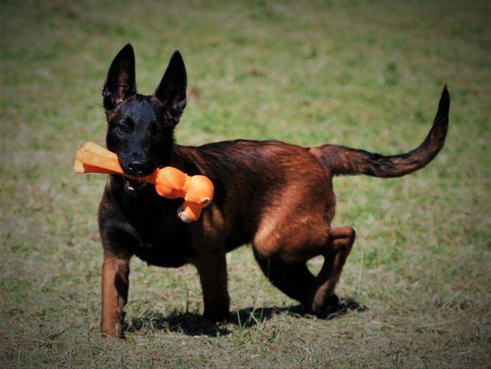 Portrait of black dog running on field