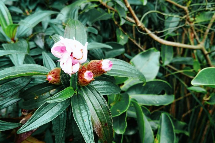 Flower Plant Growth Nature Leaf Petal Beauty In Nature Pink Color Flower Head Fragility Green Color Blooming No People Outdoors Day Freshness Close-up Future Direction Tree Beauty In Nature Tai Tam Country Park Harmony With Nature Hong Kong Nature Of Beauty
